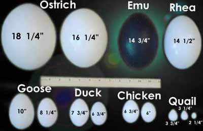 Comparison of Egg shells used in Art.